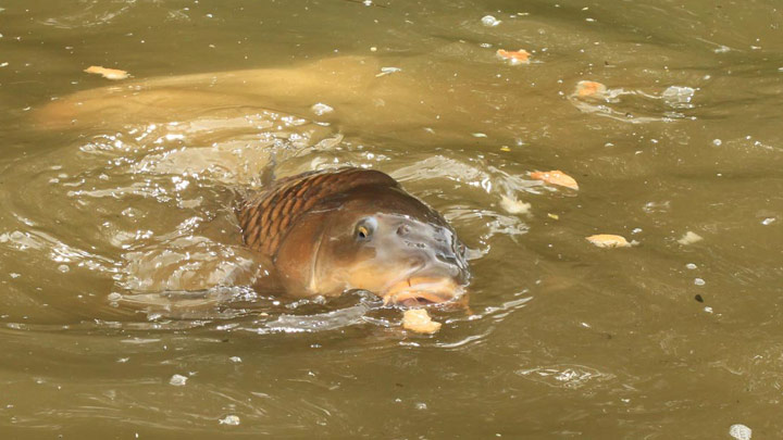 Carp surface feeding.